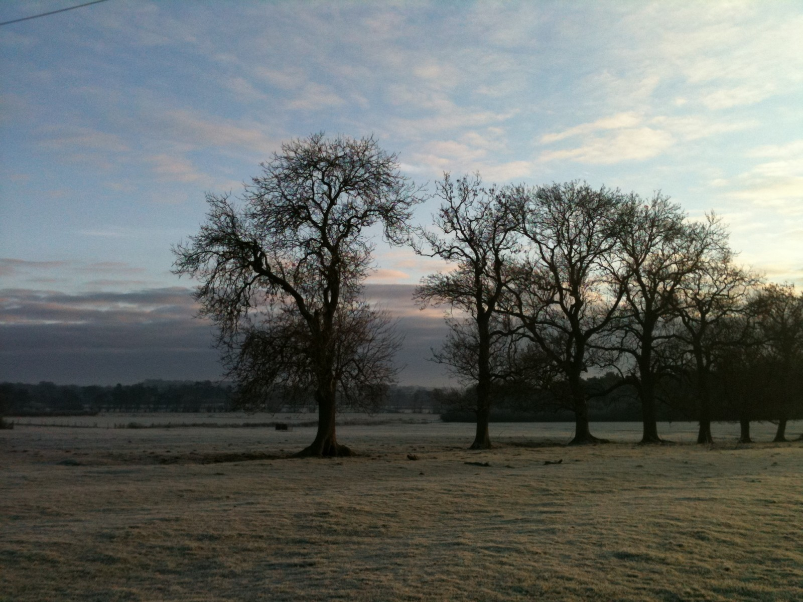 frosty ash trees